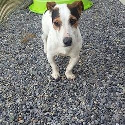 Found dog on 03 Apr 2016 in slane. found...3yr old Jrt...ref 129...found in Slane...contact Meath pound on 087 0676766...thanks