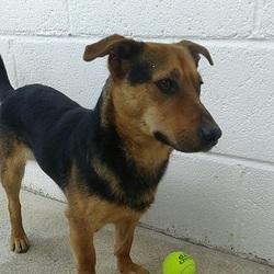 Found dog on 05 Apr 2016 in Larracore Trim. found.....2yr old Terrier X...ref 152...found in Larracore Trim...contact Meath pound on 087 0676766..thanks