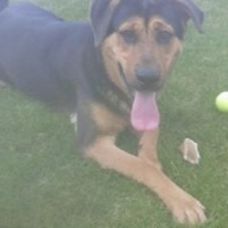 Dog looking for home 27 Apr 2016 in meath_pound. SURRENDERED NEEDS A HOME ASAP 9mt old Rottie x..ref 191.Surrendered to Meath pound today as owner moving to an apartment. He is a gentle boy but full of puppy playfullness & excitement. Please contact Meath pound on 087 0676766 or if you can offer foster contact Kathy on 086 3696413...thanks