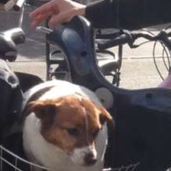 Found dog on 25 May 2016 in Thomas street dublin city. Jack russel