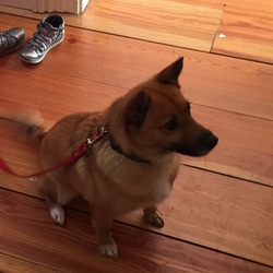Lost dog on 26 Jun 2016 in Ranelagh . Foxy - terrier Corgi mix