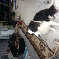 Found dog on 22 Jul 2016 in Castletown , Cross  Mayo. Black and white male collie found near Castletown, Cross, County Mayo.