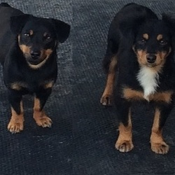 Lost dog on 07 Sep 2016 in County Clare/Limerick. 2 beloved pet dogs