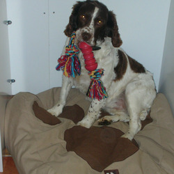 Lost dog on 13 Apr 2009 in Galway. Springer Spaniel lost on 13th april from craughwell, Co Galway, Brown & white 6yrs old, LARGE REWARD for safe return. contact Gordon 087-1227404