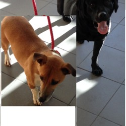 Found dog on 17 Oct 2016 in  moynalty area.. found..A female black labrador and a male terrier cross were found together in the moynalty area. Can you please like and share these photos and If someone may know who owns them can they please contact Lara on 0871135789.