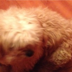 Lost dog on 22 Nov 2016 in Mallow. Tori is a 3 year old Cavachon, microchipped. She is a very friendly little dog. Lost in Ballyviniter area.
