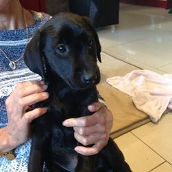 Lost dog on 02 Dec 2016 in Coynes Cross, Co. Wicklow. 6 Month old black Labrador puppy lost in the Coynes Cross area of Co. Wicklow. The photo was taken 2 months ago.