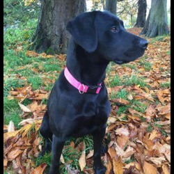Lost dog on 14 Dec 2016 in Batterstown, Dunboyne, Co.Meath. Penney has been missing since last night from Batterstown, Co. Meath (opposite Woodpark Stud). 