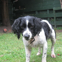 Found dog on 18 Apr 2009 in Rathfarnham Dublin 14. Female spaniel found in St Enda's park on Monday the 13th of April