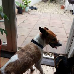Reunited dog 06 May 2017 in Belgrave square Dublin 6. male Jack russell cross found in Belgrave square. he is wearing a blue/black collar