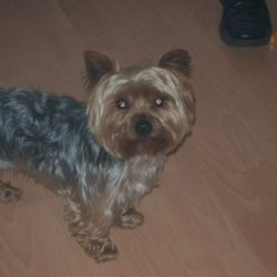 Lost dog on 19 Apr 2009 in clondalkin, Dublin. lost,small male yorkie,went missing from clondalkin on sunday 19th april, sadly missed by heartbroken kids, very eager to get him back if anyone has found him or knows where he is could you contact me please on 0860688819