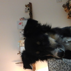 Lost dog on 06 Jun 2017 in St Anne's park raheny. Small tricolour border collie