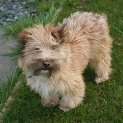 Lost dog on 10 May 2017 in South Wicklow/North Wexford. LOST- Female wheaten-coloured long-haired younger dog. Treasured family pet. Answers to Fluff. Contact 0861036087 with any information.