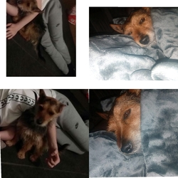Lost dog on 23 Jul 2017 in Dublin. Dog goes by the name toby, half jack russel half yorkshire terrior,missing from the coolock area. Hair is rough like straw, Caramel brown and brown.  Normally barks when people walk bye. NO collar.