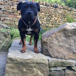 Lost dog on 30 Aug 2017 in Barnsley road . Our dog rue ran off around the wombwell, Barnsley area - s73 8eg Barnsley. she's a brown and black Staffy with a small white area on her chest and very friendly, she is microchipped and has a orange and brown collar on. She ran into the woods near aldham mill farm and livery. She will be scared so we don't know whether she will want to come to you or not.Please call 07968559130 if found.