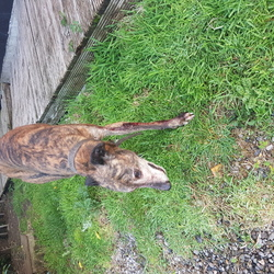 Lost dog on 26 Oct 2017 in Gormanston Beach Meath. Greyhound, entire male, Brindle, lost from Silverbeach beside Gormanston Beach on Thursday 26 October 2017. Was found wandering on the beach 29 September, followed me home and was given a new home, unfortunately missing on Thursday morning 26 October 17.