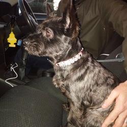 Found dog on 12 Nov 2017 in Clpntarf. Black dog Poppy