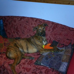 Lost dog on 13 Apr 2009 in ENFIELD MEATH. LARGE REWARD FOR LUCY! FEMALE[NEUTERED] BRINDLE LURCHER 6 YRS OLD. SWEET GENTLE DOG. FAMILY ARE DEVASTATED. ANY INFO PLS PH 0861955878