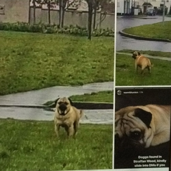 Reunited dog 02 Apr 2018 in Straffan Wood Maynooth . Sandy Brown Pug found wandering in Straffan Wood.Reunited with his owner this evening