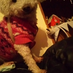 Lost dog on 24 Dec 2017 in Attymon, Athenry, Galway. Bichon frise, approximately 8 years, lost from County Galway. Was not microchipped or wearing a collar.
