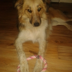 Found dog on 30 Apr 2018 in  Co Wicklow. FOUND  Female Rough collie cross.