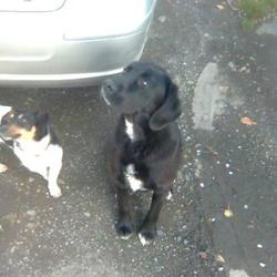 Found dog on 01 May 2009 in Kilcloon, Co Meath . Male dog found in Kilcloon Co. Meath. Cross with a black labrador, has a white stripe on his chest.. Roughly under a year old. Very friendly and playful. Found on the 1/05/2009.. Please contact Maeve on 0851381483,