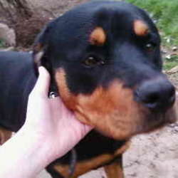 Found dog on 04 May 2009 in Co. Kilkenny. Found: Rottie female (Roxy) and black lab male (Riggs) were stolen from South Kilkenny on Monday 4th May. Roxy is neutered and 12-18 months and Riggs is not neutered and about 7 years of age. He has some joint stiffness. They are family pets and children are devastated. Reward offered for safe return. They were stolen from South Kilkenny but could be anywhere in country by now although we suspect may be in Waterford. Please contact Tony on 0876934125 with any information.
