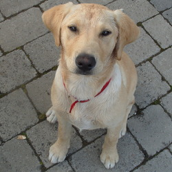 Lost dog on 12 Jan 2009 in North County Dublin. Young small golden labrador cross. 12mths old NOW. Missing since jan '09. Was wearing black collar at time. Very friendly and answers to