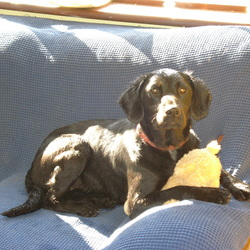 Lost dog on 09 May 0009 in Togher Louth. 11month old all black labrador/cocker spaniel bitch pup. Missing from from home 9/5/09. wearing RED collar.has been recently neuterd so has got scar on tummy. very playful and friendly. reward offered