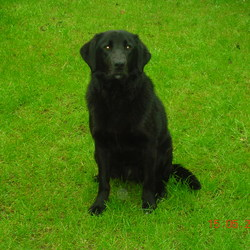 Found dog on 14 May 2009 in Knocklyon, Dublin 16. Large all Black Female Dog. May be a lab cross. Very friendly. Has a few commands, clean teeth. She's not that unloved looking so may have just strayed from home