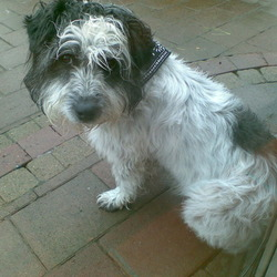 Found dog on 14 May 2009 in Saggart/Citywest. Found Black and White Terrier found at my door in Saggart Abbey, Saggart