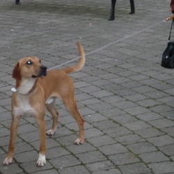 Lost dog on 20 May 2009 in Ireland. little brown foot beagle lost
