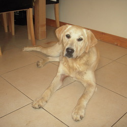 Found dog on 23 May 2009 in Oranmore, Galway. Female labrador cross. About 1 year old. Very friendly and playful. Found in Renville in Oranmore, Co. Galway on 23rd May. Please call Michelle on 086 3731237