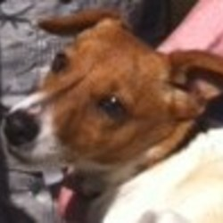 Lost dog on 03 Oct 2011 in greystones, co.wicklow, ireland. Small male terrier. Answers to the name of Alfie. Brown and white head, brown patch on back. Has a small scar on his snout. Went missing on the 2nd of October at about 3pm. Not wearing a collar.