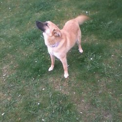 Lost dog on 10 Sep 2011 in Carlow. Female dog. Small - Medium height. Soft golden brown hair, white chest and brown nose. A year and a half old.