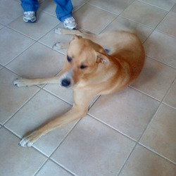 Lost dog on 14 Oct 2011 in Tralee, Co Kerry. My 3 dogs broke from their enclosure this evening. 2 came home but Lennox the 3 yr old Great dane x is still missing