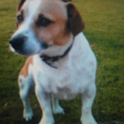 Lost dog on 10 Oct 2011 in Ballybrennan wexford. Jack Russell dog missing since Monday oct 10th. Brown and White male, with brown face and White line running up from the nose area. If found, please contact Nick on 086-1548877