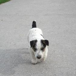 Lost dog on 16 Oct 2011 in Waterstown, Sallins. Reward Offered: Jack Russell, 2 years old male not neutered. Wearing brown leather collar with small metal bits on it. Long hair. Brown/black ears. Really missed. Went missing on sunday 16th October along the canal at Waterstown Sallins co. Kildare