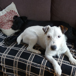 Lost dog on 22 Jan 2012 in Cork. Small white male terrier (neutered). Lost Sunday 22nd Jan in Nohoval, Co. Cork.