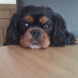 Reunited dog 01 Apr 2012 in Clonsilla Dublin 15. Black and Tan 