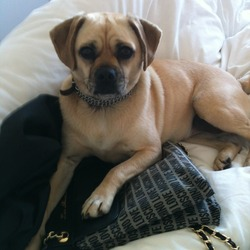 Found dog on 26 May 2012 in Baldoyle. Puggle (Pug and Beagle cross) puppy found in Baldoyle on Saturday 26th May. Wearing collar (chain link with thin brown leather strap). Very friendly and energetic, used to a house - someone must be really missing her.