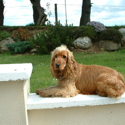 Found dog on 02 Jun 2012 in Kilrush, Bunclody. Golden coloured Spaniel puppy with chain collar but no address