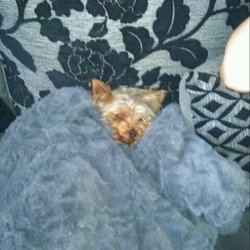 Lost dog on 16 Jun 2012 in tallaght. 2 year old mini yorkie black an tan missing from brookview in tallaght male and his name is murphy he is chipped and has recently been clipped so his hair is really short