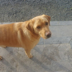 Found dog on 19 Jul 2012 in Mullinavat/Kilmacow. Sam has been found, thank-you for all your help.