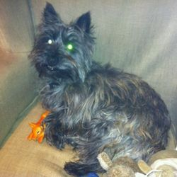 Lost dog on 25 Jul 2012 in Lucan in Dublin. Cairn Terrier cross West Highland Terrier missing from Lucan since about half 5 today, Dublin. 2 years old approx, female. Much loved pet and we are really missing her. Got out of the garden due to foxes digging holes in and out of the garden and we heard a car door closing out on the road when she got out so there is a possibility that she was stolen. She is spayed, microchipped and has a collar. REWARD OFFERED.  0863849075