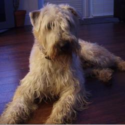 Lost dog on 20 Jul 2012 in Rochestown, Cork. Wheaten Terrier missing.  Last seen August 9th in Ballintemple area in Cork.  He is a male, neutered, medium sized dog, blonde shaggy coat, wearing brown collar & ID.  Reward offered for his return.