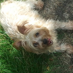 Lost dog on 27 Sep 2012 in Farran/Ovens Cork. Missy is missing. Half-yorkie, half-cairn terrier. Lost in Farran/Ovens area of Cork. She is 9 and a half years old and a timid old girl. She has a limp in her back left leg and is much loved and missed. We would love her back.