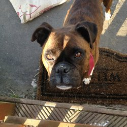 Lost dog on 26 Sep 2012 in Laois. Boxer female. Red & black with white paws. Taken from our home 2 weeks ago by a Galway registered car. We live in Laois. Family pet.Please contact me on 085-7142958 if You see her. Thanks.