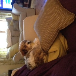 Lost dog on 24 Nov 2012 in Limerick. Small, bichon Frise/Cavalier King Charles Cross. White, brown and beige in colour. He is not yet a year old. He went missing yesterday the 24/11/2012 in Annagh, Lisnagry Co. Limerick. Both me and my son(5 years old) are deeply upset and want his safe return. my number is 0867955020