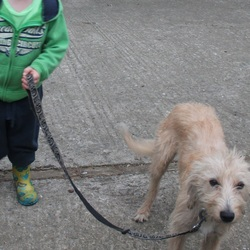 Lost dog on 30 Nov 2012 in Dublin 15. Lost Bedlington Whippet